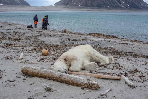 Xác chú gấu trên bờ biển ở Sjuoyane, Na Uy. Ảnh: AFP