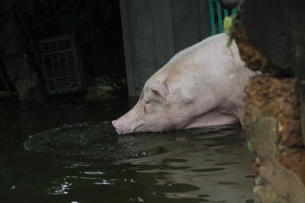 Nhiều nhà thả lợn bơi tung tăng trong nhà.