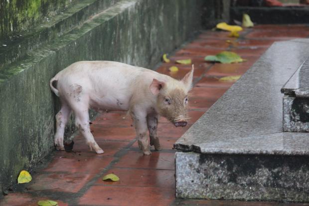 Do nước lũ ngập sâu nên người dân đành thả lợn trên nóc nhà, hay quây vào trong nhà.