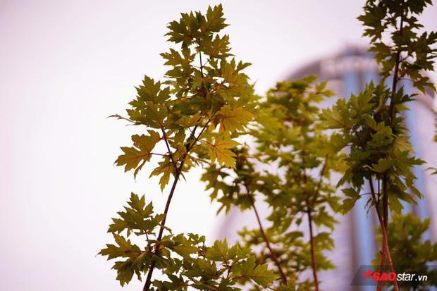 Được biết, phong lá đỏ là loại cây đặc trưng của khí hậu ôn đới lạnh, được trồng phổ biến ở Hàn Quốc, Nhật Bản,… cũng như các nước châu Âu.