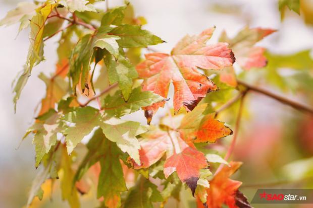 Chỉ mong là mưa sớm tạnh, để người Hà Nội được dịp lưu lại kỷ niệm cùng loài cây trân quý này.