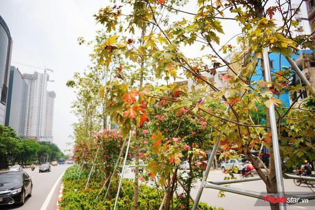 Hiện tại trên phố Trần Duy Hưng có khoảng hơn 100 cây phong được trồng từ tháng 1/2018.Số lượng cây phong chuyển màu lá đỏ chưa nhiều. Dù sao, đây cũng là tín hiệu vui cho những ai yêu quý loài cây này.