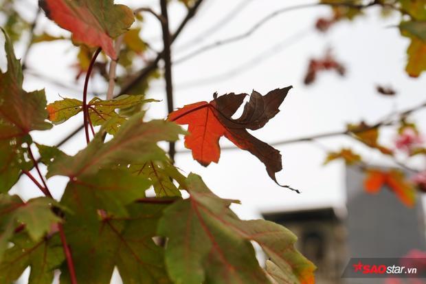 Một số chiếc lá vì mưa nhiều mà thâm đen lại.