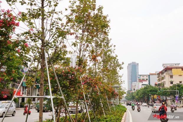 Tuy nhiên, khi mang loài cây này về Hà Nội, chúng vẫn phát triển tốt và vẫn mang màu sắc như khi trồng tại vùng khí hậu châu Âu.
