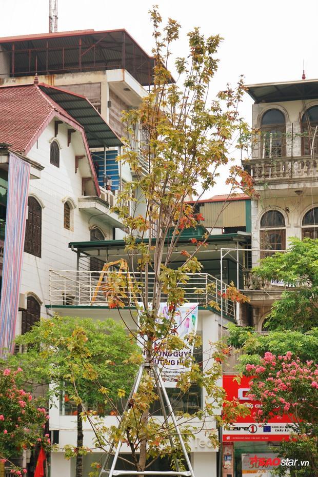 Các cây phong trồng trên đường phố vẫn được chống đỡ cẩn thận, tránh bị đổ khi trời mưa, gió to.