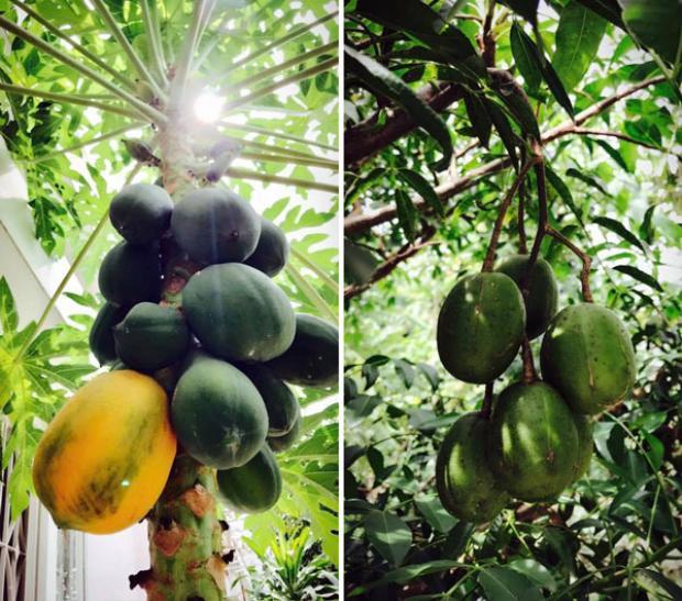 Cây trái trĩu quả chứng minh khả năng làm vườn của Việt Trinh.