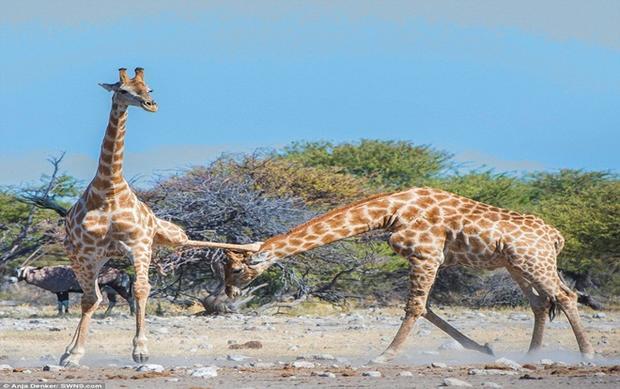 Cuộc chiến diễn ra ở một công viên quốc gia ở Namibia. Ảnh: Daily Mail