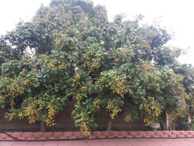 Cây nhãn sai trĩu quả trong khu vườn của Quang Lê.