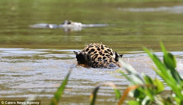 Khoảnh khắc báo đốm không ngần ngại xuống nước để tiếp cận đối thủ. Ảnh: Dailymail