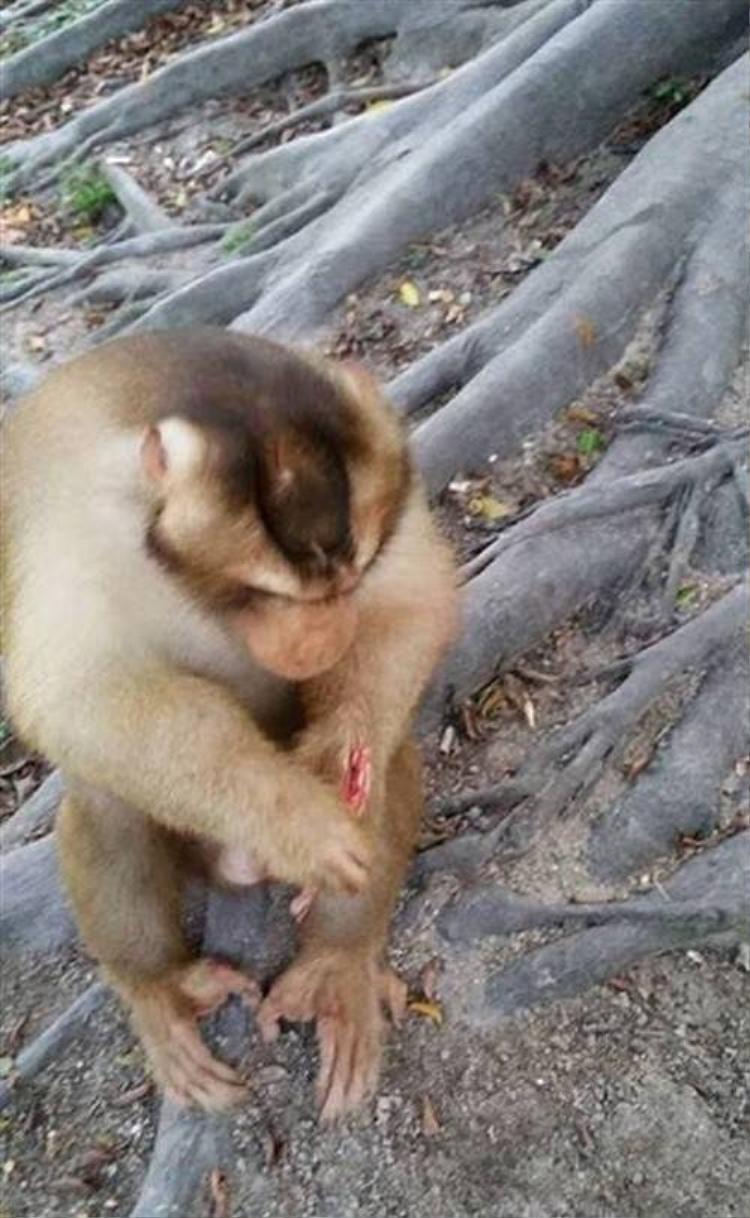 Liên tục bị khách du lịch đùa độc ác, chú khỉ đáng thương đã qua đời