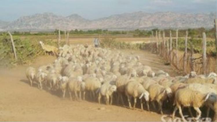 Một đàn cừu với số lượng rất lớn đang về chuồng.