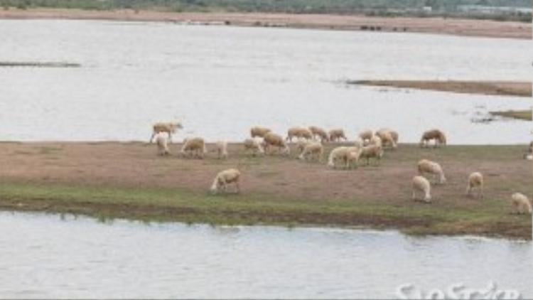 Cừu ở đây gần hồ nước nên rất sạch sẽ và trắng trẻo.