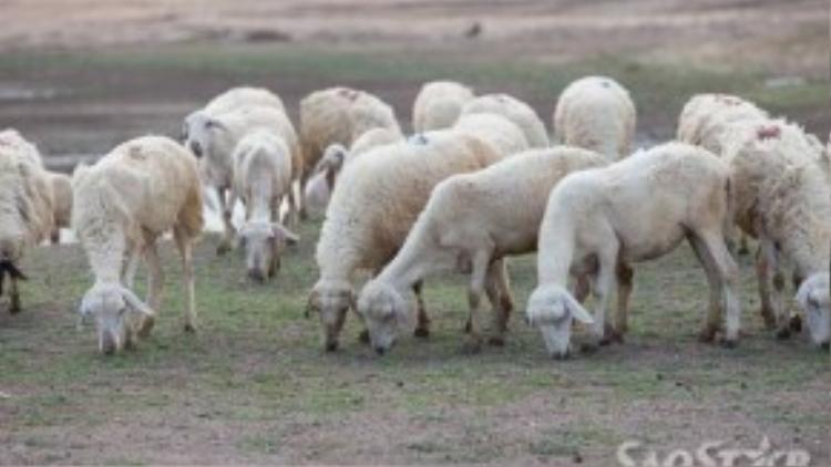 Cừu có mặt ở rất nhiều nơi trong tỉnh Ninh Thuận.
