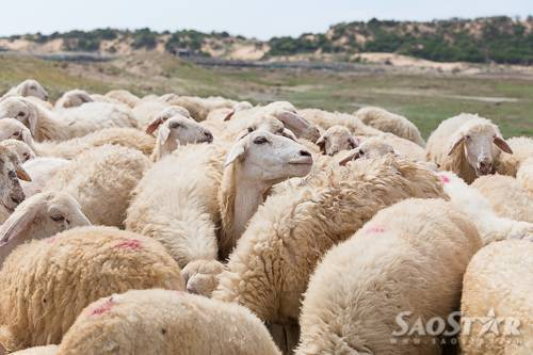 Bí quyết săn cừu khi du lịch Phan Rang  Ninh Thuận