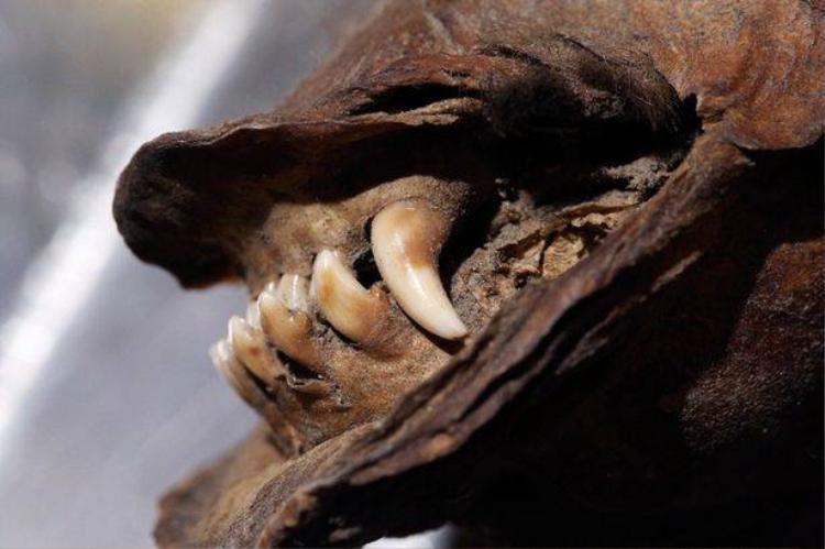 Ngạc nhiên thi thể chú chó qua đời hơn 12.000 năm vẫn nguyên vẹn