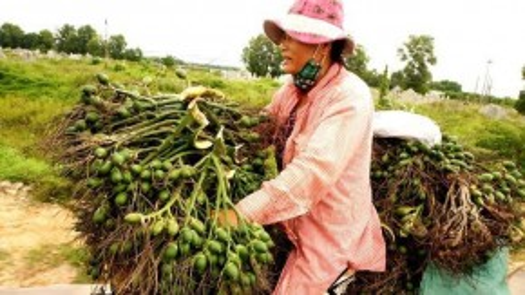 Hằng ngày, bà Phạm Thị Bé (46 tuổi, ở làng Văn Xá, xã Hương Văn, thị xã Hương Trà) thức dậy từ sớm, đạp xe rong ruổi khắp các khu dân cư mua cau về bán cho cơ sở chế biến, thương lái kiếm lời.