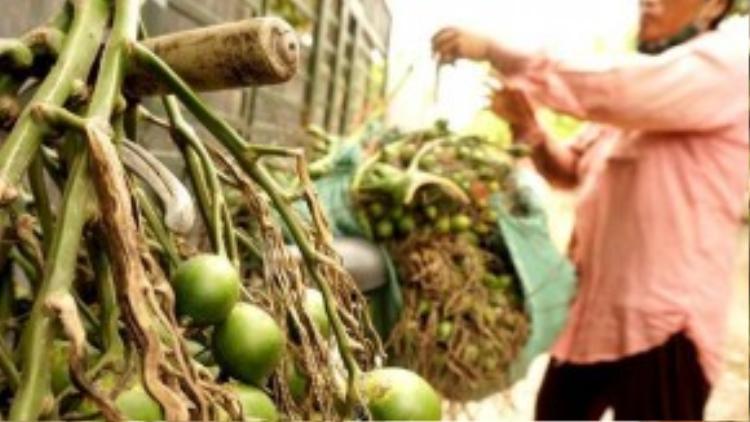Bà Bé mua tại vườn dân với giá 12.000 đồng/kg, bán lại cho ông Phạm Sinh (thôn Giáp Nhì, xã Hương Văn) với giá 14.000 đồng/kg kể cả cuống.