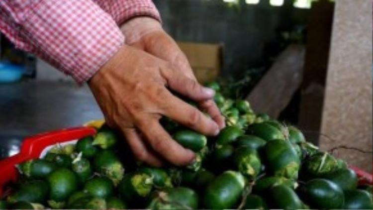 Sau đó, cau non được luộc và cho vào lò sấy khô. Theo ông Phạm Giác (79 tuổi), cơ sở của ông Cường hoạt động đã 4 năm nay. Cau sau khi sấy khô được nhập cho một Cty thu mua nông sản ở Hải Phòng xuất qua Trung Quốc qua cửa khẩu Tân Thanh.
