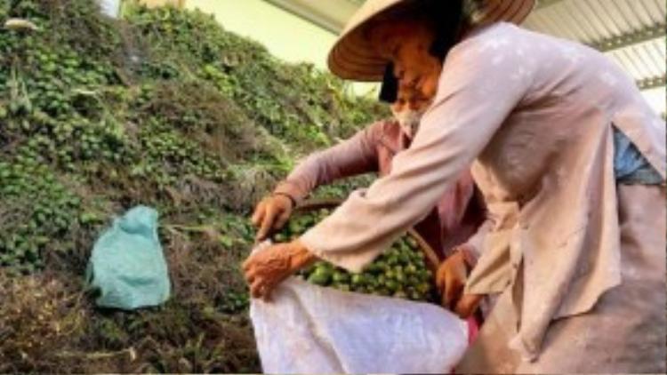 Trước sự việc người dân ồ ạt hái cau non bán cho Trung Quốc, ông Hồ Đính, Phó phòng Trồng trọt, Sở NN&PTNT Thừa Thiên Huế cho biết, họ nhập cau non để sản xuất kẹo bán đi các nước có khí hậu lạnh.