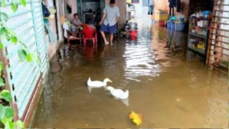 Nước tràn vào nhà dân gây ngập nghiêm trọng, vịt cũng bơi tung tăng vào nhà. (Ảnh: Tri Thức Trẻ)
