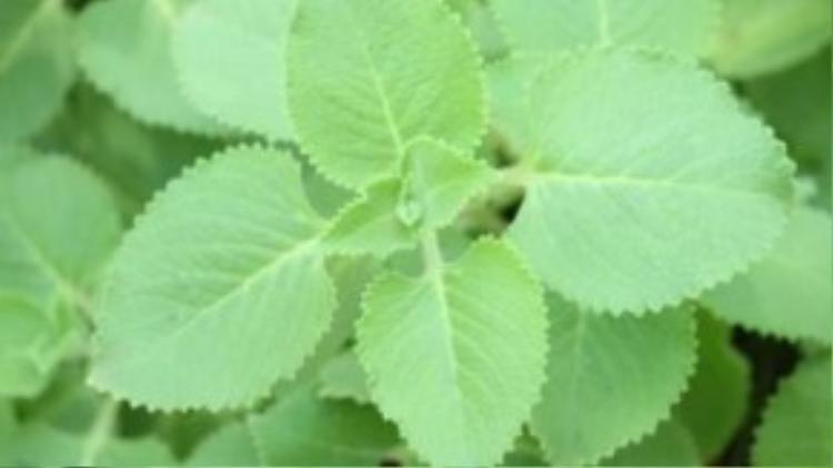 Húng thơm là một trong những cây thảo dược tốt cho sức khỏe, vừa có thể phòng chống muỗi. Tinh dầu của cây húng thơm có tác dụng xua đuổi muỗi và chống muỗi một cách hiệu quả cho gia đình.