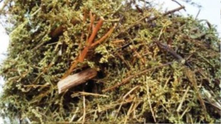 Bưởi, lá náng hoa trắng, bèo cái, cây ngải hoa vàng hoặc thanh cao phơi khô, đốt lấy khói hun cũng có tác dụng xua đuổi muỗi tốt.