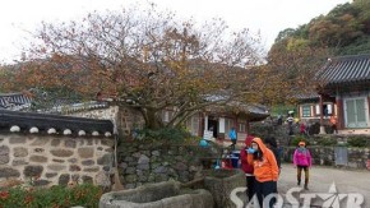 Khách viếng chùa khát nước có thể múc nước suối dưới gốc cây hồng cổ thụ để uống.