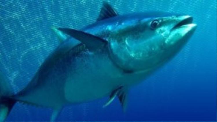 Cá ngừ chỉ có khả năng làm ấm từng bộ phận riêng trong cơ thể