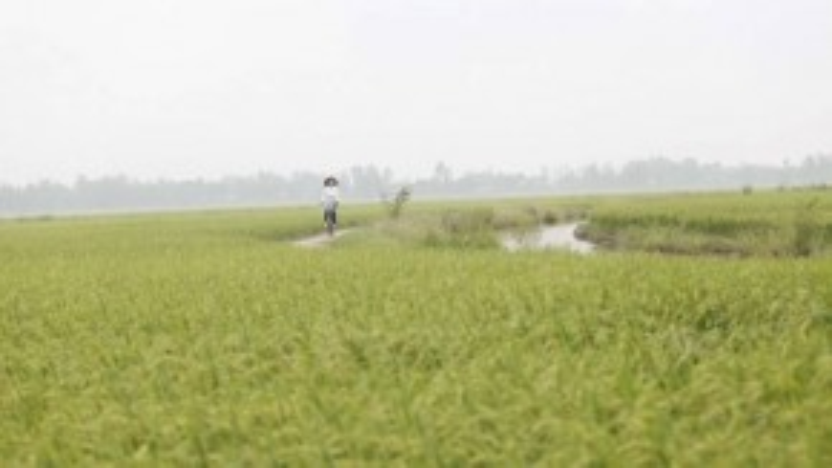 Vẻ đẹp của cánh đồng lúa xanh ngút ngàn khiến công chúng không khỏi rung động.