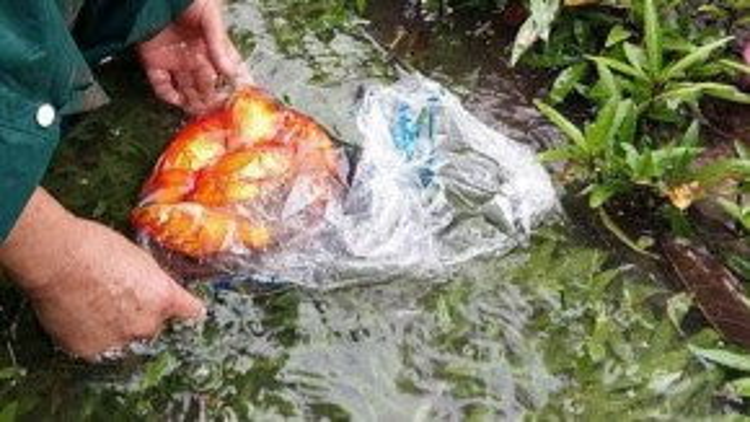 Ngay cả cá cảnh cũng được tìm thấy trong hồ khi ngập nước. (Ảnh: Vnexpress)