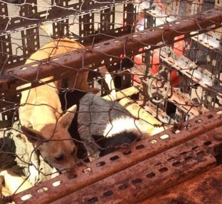 Nạn giết chó dã man ở Indonesia bị báo nước ngoài lên án