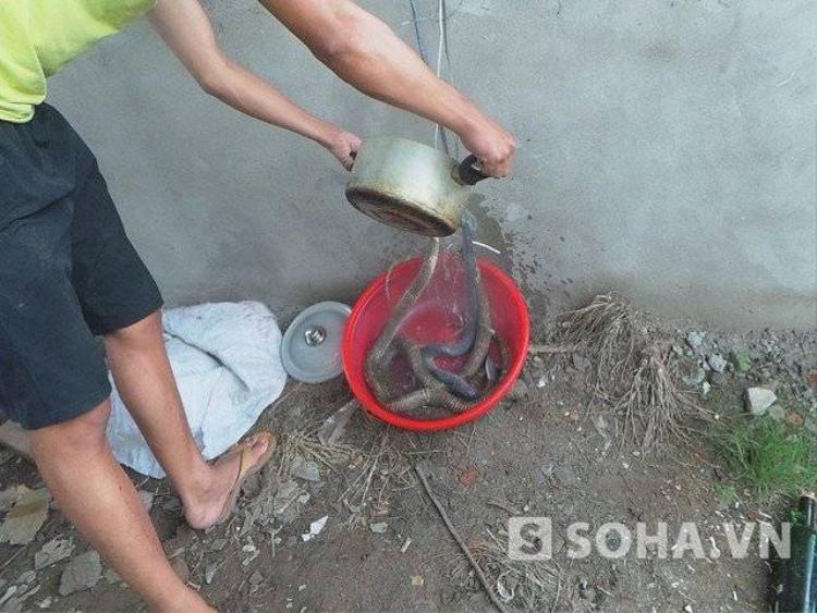 Hàng chục người vây bắt ổ rắn hổ mang chúa khủng ở Hà Nội