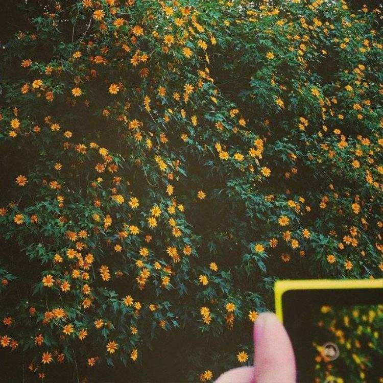 Đừng bỏ lỡ mùa hoa dã quỳ đẹp mê hồn ở Đà Lạt