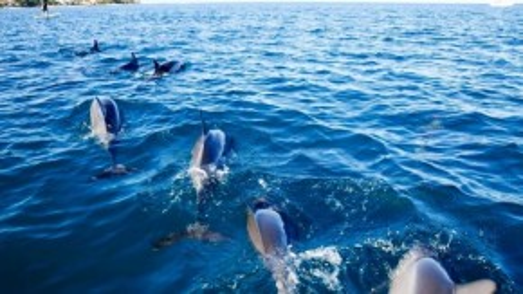 Cano dừng ở khu vực phía nam đảo, cách bờ chỉ khoảng 1 km. Lúc này cá heo bắt đầu từng đàn bơi về phía tàu.