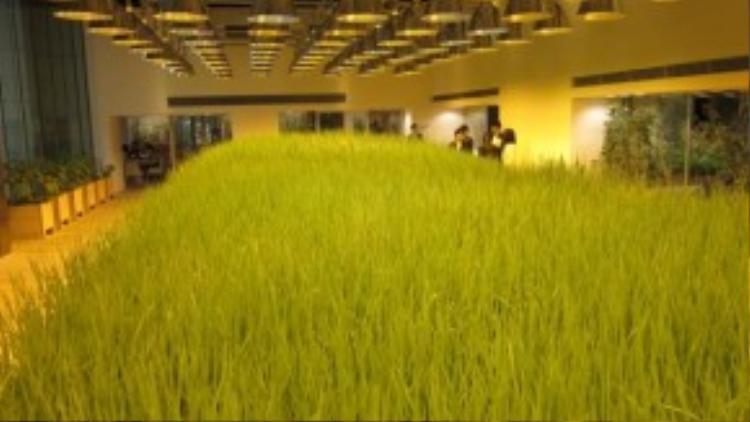 """Một """"cánh đồng"""" lúa bát ngát nằm ở sảnh lớn."""