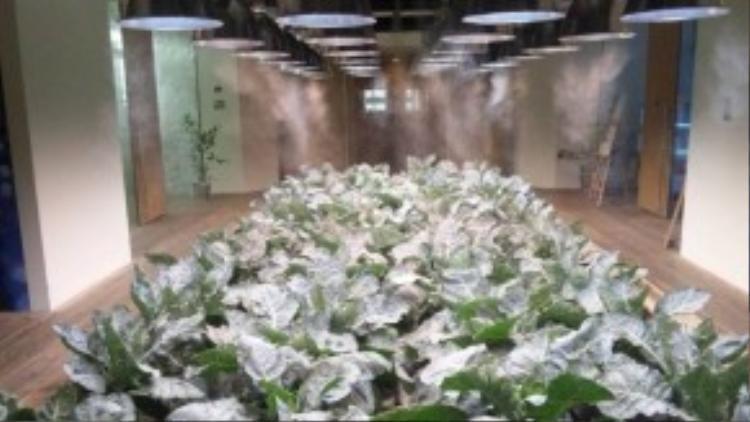 Hành lang được tận dụng để trồng súp lơ.