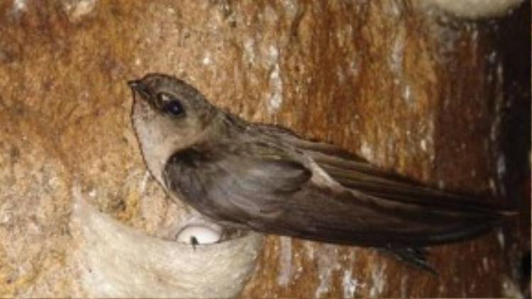 """Loài chim yến cũng là một nạn nhân trong trào lưu """"bi kịch hóa"""" mọi vấn đề của cư dân mạng?"""