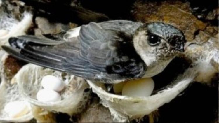 Những người khai thác tổ yến chuyên nghiệp rất ý thức trong việc bảo tồn và phát triển nòi giống của chim yến bởi nó cũng gắn liền vớisự sống của họ.