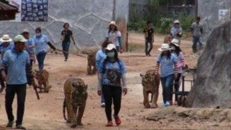 May mắn thay, Hai hôm trước, chính phủ Thái Lan đã chính thức đưa 5 con hổ đầu tiên ra khỏi ngôi đền đầy tai tiếng này.