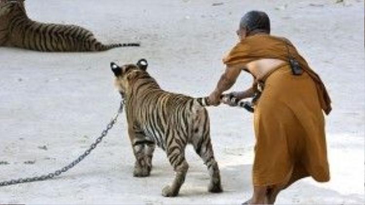 Nhà sư kéo đuôi chú hổ một cách thô bạo.