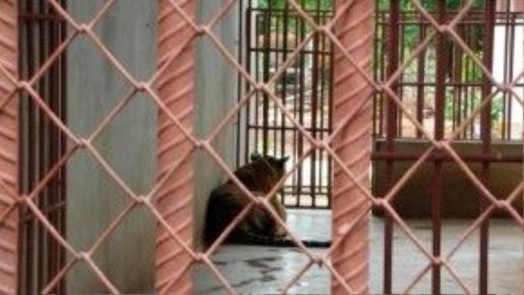 Phần lớn những con hổ bị nhốt nhiều giờ mỗi ngày trong lồng, không được ra ngoài vận động. Do đó, cơ thể chúng rất yếu đuối và tinh thần thì bức bối, khó chịu.