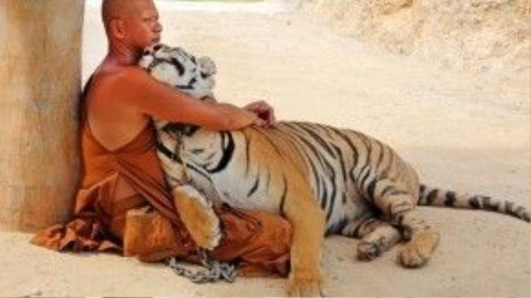 Chú hổ trông như một con mèo to xác trong vòng tay của nhà sư.