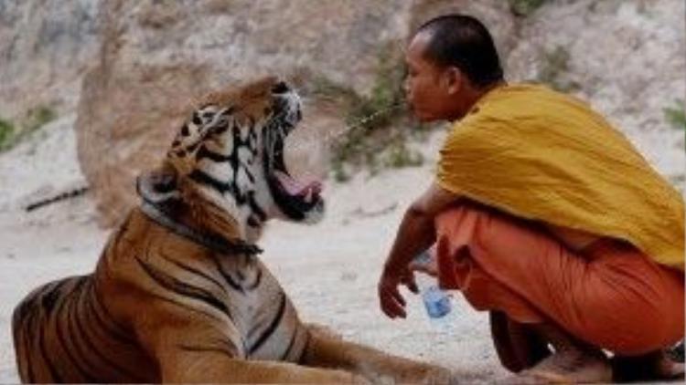 Nhà sư thoải mái…. mớm nước cho hổ.