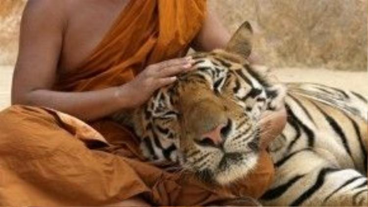 Hổ yên tâm để nhà sư vuốt ve trong lòng.
