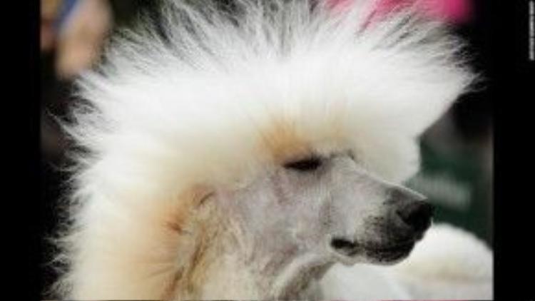 """24/1: Maseratti - một chú puddle với """"mái tóc"""" được sấy dựng lên rất ngầu. Maseratti vừa tham giashow trình diễn của những chú chó theo phong cách cổ điển tại Oregon, Mỹ."""