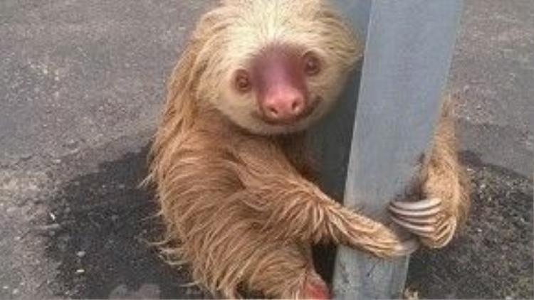 23/1: Một chú lười được cảnh sát Ecuador phát hiện khi đang ôm chặt một cái cột rào chắn trên đường cao tốc và nhất quyết không chịu rời đi. Hình ảnh đáng yêu của chú đã được cư dân mạng trên thế giới truyền tay nhau xem nhanh chóng mặt.