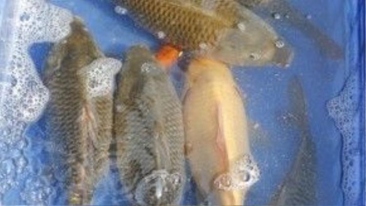 Trong ngày đưa ông Táo, giá cá chép trung bình khoảng100.000đ/kg, tùy kích cỡ.