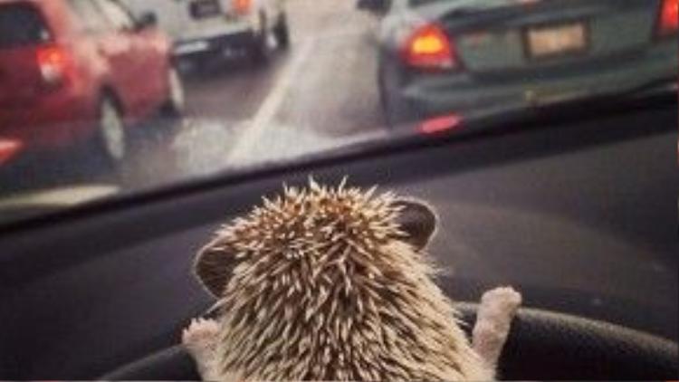 Chú nhím bé thế thôi nhưng cũng xoay được vô lăng xe ô tô chứ bộ!