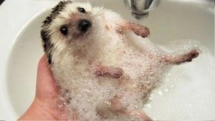 Ai nói nhím không cần tắm?