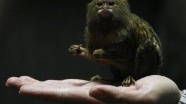 Chú khỉ bé nhất thế giới này còn nhỏ hơn cả lòng bàn tay một người lớn. Loài khỉ lùn Marmoset chủ yếu sống trong rừng nhiệt đới Amazon ở Nam Mỹ.